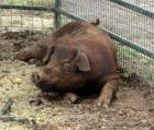 Brown Male Duroc Pig
