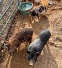 3 Male Pigs