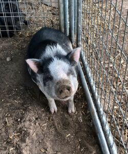 Female White & Black Pot Belly Pig