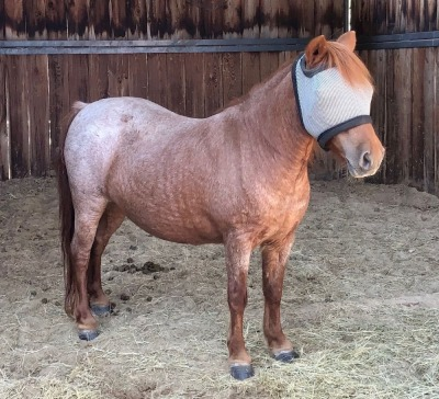 Red Roan Pony Mare