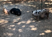 3 Female Pigs