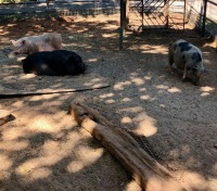 3 Female Pigs - 3