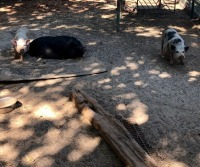 3 Female Pigs - 5