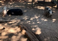 3 Female Pigs - 7