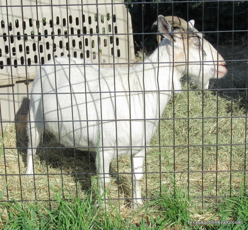Spanish Nanny Goat