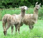 Pair of Llamas
